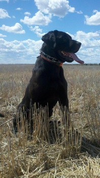 South Dakota Hunting Dog